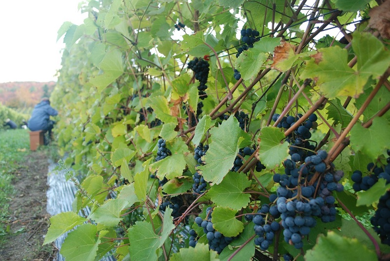 Picking Grapes Reduced